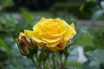 picture of yellow rose closeup