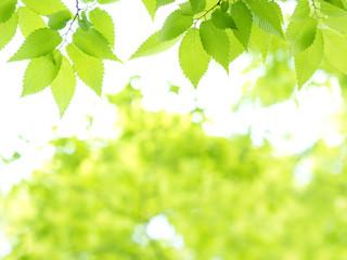 新緑のケヤキ