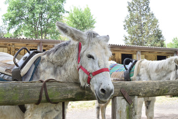 White donkey tied to a fence