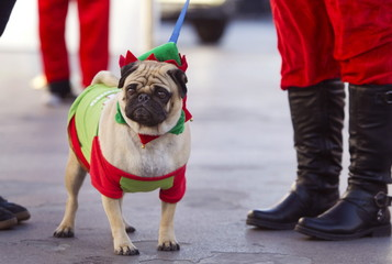 """A pug named """"Buddy"""" is dressed for the holidays during the 11th annual Las Vegas Great Santa Run in downtown Las Vegas"""