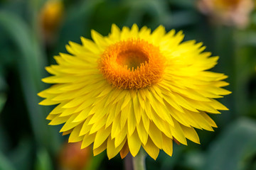 Yellow Flower