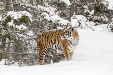 Bengal Tiger In A Snowy Environment
