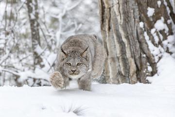 Aluminium Prints Lynx Bobcat In The Snow