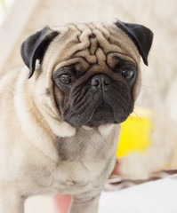 My lovely dog pug name Zumo