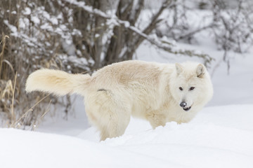 Artic Wolf In The Snow
