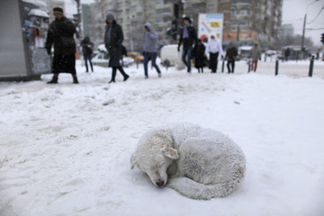 A stray dog sleeps in the snow as people pass by on a street in Bucharest