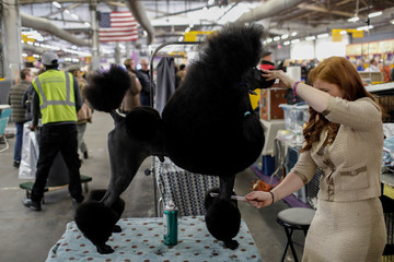A Standard Poodle is groomed in the benching area by his handler before competition at the 141st Westminster Kennel Club Dog Show in New York