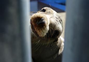 A rescued California sea lion pup looks through a fence at the Pacific Marine Mammal Center in Laguna Beach, California