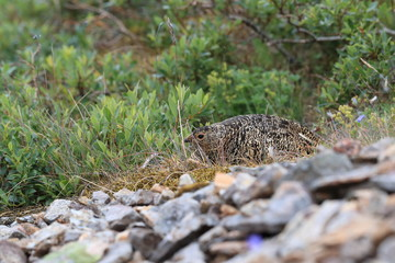 A female Ptarmigan (Lagopus leucurus) and chicks Iceland