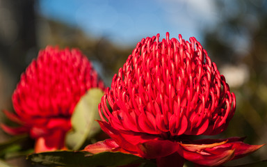 Two Waratah vivid red flowers mirroring each other in Blue Mountains during the Spring Festival.