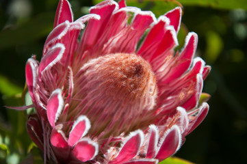 Close up to a Protea bloom, Australian native flower in Blue Mountains.