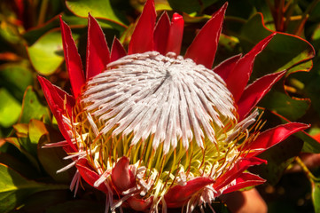 The giant or King Protea in Australian environment
