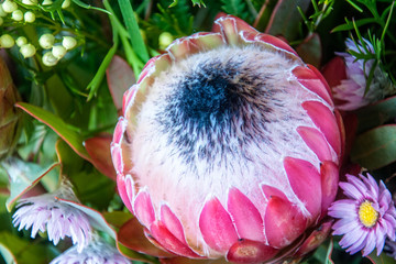 Huge Protea Bud at the Waratah Festival in Blue Mountains