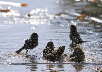 Sparrows cool down in a pond during a warm day in Skopje