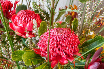 Impressive red Waratah blooms in a stunning visual display at the Spring Festival, Blue Mountains