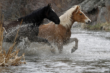 Horses cross a river as they are gathered during Montana Horses' spring drive outside Three Forks