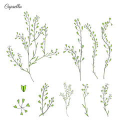 Capsella flower, Shepherd's purse, Capsella bursa-pastoris, the entire plant, hand drawn graphic vector colorful illustration, doodle ink sketch isolated on white, contour style for design cosmetic