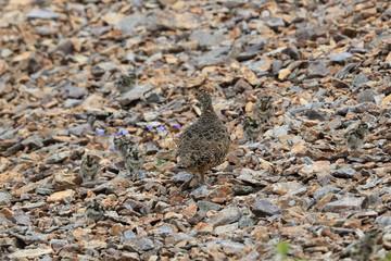 A female Ptarmigan (Lagopus leucurus) and chicks Iceland