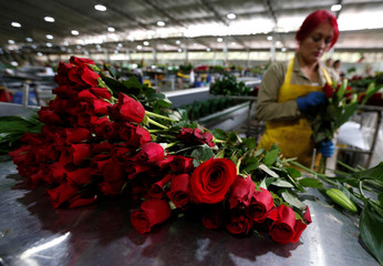 An employee organises bouquets of flowers to be exported overseas, ahead of Valentine's Day, at a farm in Facatativa