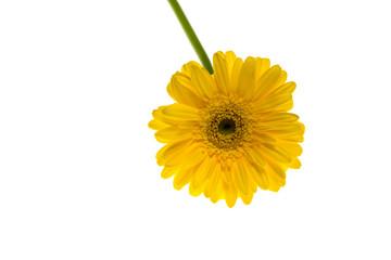 ガーベラ 黄色
