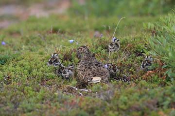 Ptarmigan (Lagopus mutus) Iceland