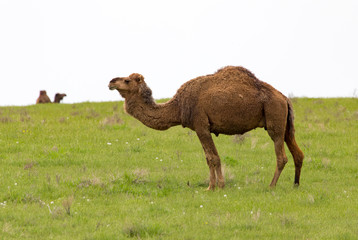 Camel in the pasture in the spring