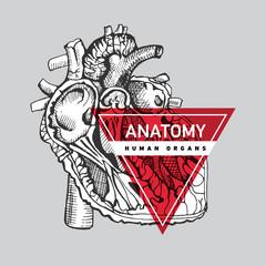 Human organ heart