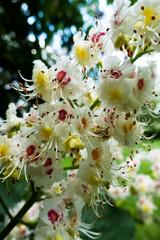 Kastanienbaum in Blüte