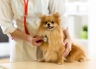 the vet examining the dog breeds Spitz with stethoscope in clinic