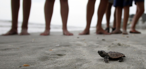 A loggerhead turtle hatchling makes it's way to the surf, as tourists and volunteers look on, at South Litchfield Beach