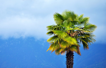 Palm tree of the mountains in the fog