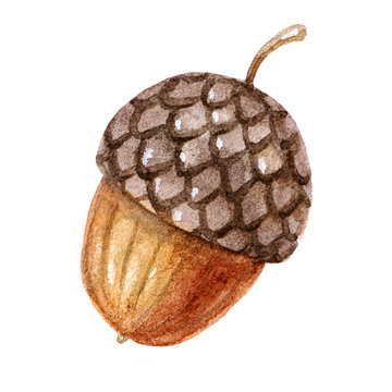 Cute brown watercolor acorn illustration isolated on white background.Colorful forest element