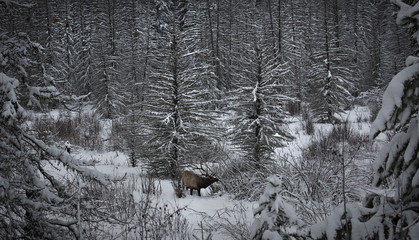 An elk searches for food on the wooded edge of meadow in Banff National Park near Lake Louise