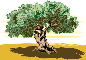 Old olive tree and tortuous.
