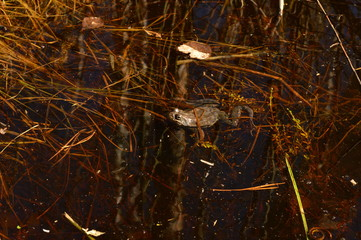 Frog on the surface of the water on a spring morning