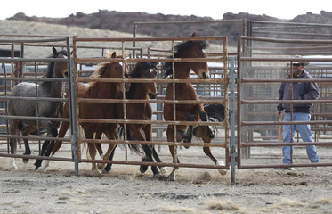 Wild horses are sorted in a corral as the Bureau of Land Management (BLM) gathers the horses south of Garrison, Utah