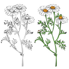 Chamomile silhouette and colorful isolated on white background