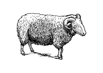 illustration of ram