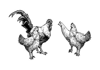 illustration of hens and cock