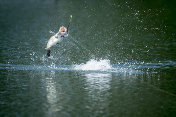 Barramundi jumps into the air on a fisherman's line