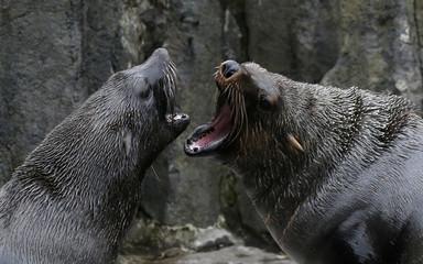 Seals play in their enclosure at Prague Zoo