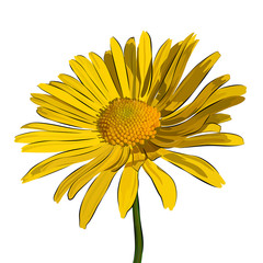 Vector Illustration chamomile flower. Beautiful yellow daisy flower isolated.