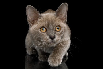 Playful Blue Burmese Kitten with yellow eyes on Isolated Black Background, front view