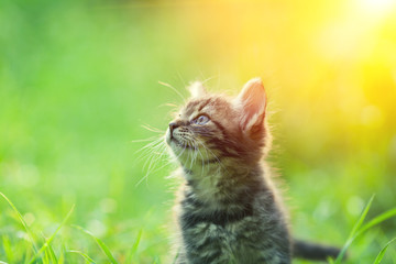 Little kitten walking outdoor in a grass in summer