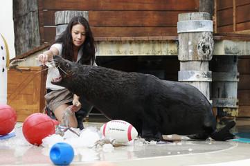 Marine mammals supervisor Danielle Fox gives a treat to a seal at Taronga zoo in Sydney