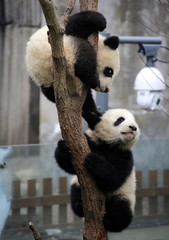 Baby giant pandas play on a tree at Chengdu Research Base of Giant Panda Breeding in Chengdu