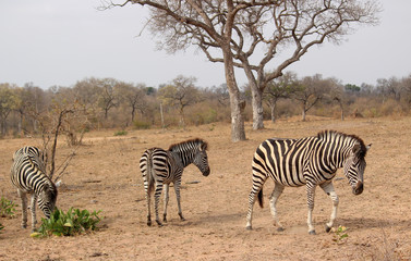 South African Zebra struggling for food in arid climate