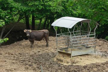 Mucca tra lo sterco e il fienile