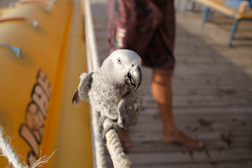 Gray African Parrot sitting on the rope.