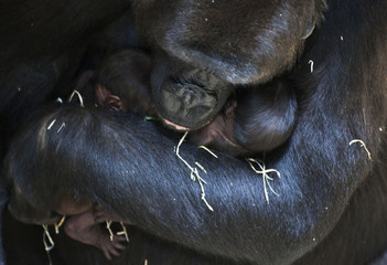 Gorilla mother N'Gayla holds her twins at the Burgers' Zoo in Arnhem